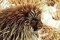 Porcupine Seedskadee NWR (16013698797).jpg