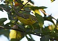 Prairie Warbler (documentation photos) (43158047780).jpg
