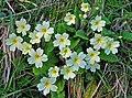 Primrose (Primula vulgaris) - geograph.org.uk - 1278399.jpg