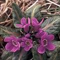 Primula (5944746523).jpg