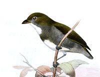 Prionochilus olivaceus.jpg