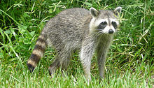 Procyon lotor (Common raccoon)2.jpg