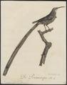 Promerops cafer - 1802 - Print - Iconographia Zoologica - Special Collections University of Amsterdam - UBA01 IZ19000301.tif