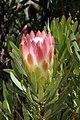 Protea repens (Proteaceae) (4575515419).jpg