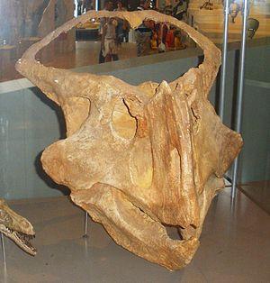 Protoceratops - P. hellenikorhinus skull