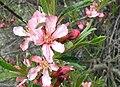 Prunus-tenella.jpg