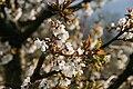 Prunus avium03.jpg
