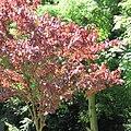 Prunus cerasifera cultivar.jpg
