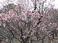Prunus mume Koutoji2.jpg
