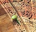 Psittacula krameri -mosque at Qutb complex -Delhi.jpg