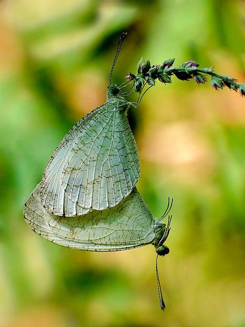 Psyche Leptosia nina mating retouched.jpg