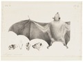 Pteropus ecaudatus - 1700-1880 - Print - Iconographia Zoologica - Special Collections University of Amsterdam - UBA01 IZ20700041.tif