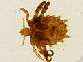 Pthirus pubis (YPM IZ 093640).jpeg