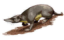 Long-nosed mammal, brown above and yellow below.