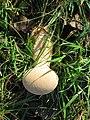 Puffball fungus in pasture - geograph.org.uk - 1585137.jpg