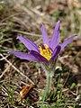 Pulsatilla oenipontana flower.jpg