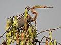 Purple Heron (Ardea purpurea) on Butea monosperma (Dhak) canopy W IMG 7561.jpg