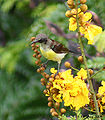 Purple Rumped Sunbird (Immature Male) I Picture 188.jpg