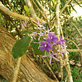 Purple Wreath Vine (16620419635).jpg