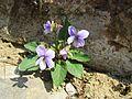 Purpleflower Violet in Nanjing General Hill 2013-03.JPG