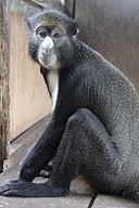 Putty-nosed monkey (Cercopithecus nictitans)