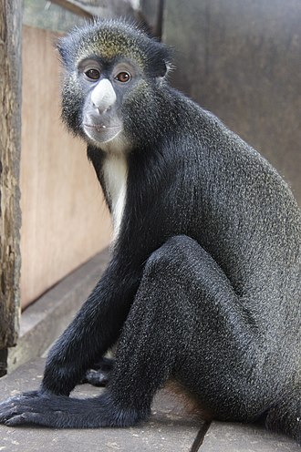 Greater spot-nosed monkey - Image: Putty nosed monkey (Cercopithecus nictitans)