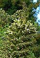 Puya raimondii 3.jpg
