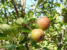 Pyr0589 002 fruit 2005a (1).jpg