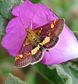 Pyrausta aurata (2) - Flickr - gailhampshire.jpg
