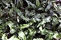 Pyrrosia lingua 4zz.jpg