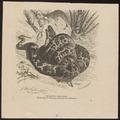 Python tigris - 1700-1880 - Print - Iconographia Zoologica - Special Collections University of Amsterdam - UBA01 IZ11800211.tif