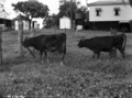 Queensland State Archives 1707 Cattle nutrition identical twin heifers October 1952.png