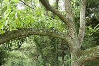 Quercus acutissima 03.jpg