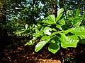 Quercus marilandicus - panoramio.jpg
