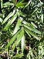 Quercus phellos - University of Kentucky Arboretum - DSC09354.JPG