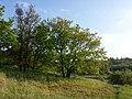 Quercus pubescens sl9.jpg