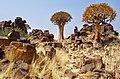 Quiver Tree (37006876854).jpg