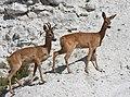 Rådjur (Capreolus capreolus) – Roe deer - Flickr - Ragnhild & Neil Crawford (1).jpg