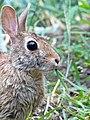 Rabbit Eating Grass by Monique Haen.jpg