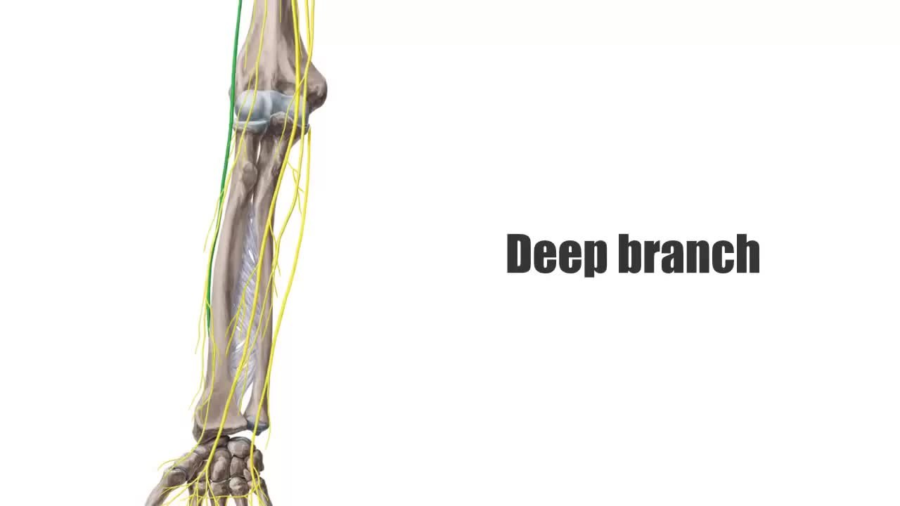 File:Radial Nerve - Anatomy, Innervation & Distribution - Human ...