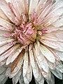 Raindrops on chrysanthemum 1.jpg