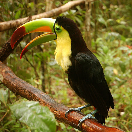 The keel-billed toucan Ramphastos sulfuratus -Belize Zoo-6a-2c.jpg