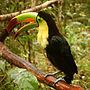 Ramphastos sulfuratus -Belize Zoo-6a-2c.jpg
