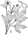 Ranunculus hispidus var nitidus BB-1913.png