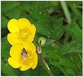 Ranunculus pipi.jpg