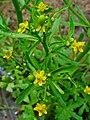 Ranunculus sceleratus 002.JPG