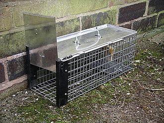 Rat trap - Image: Rat cage trap 3y 08