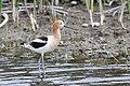Recurvirostra americana -Tule Lake, California, USA-8.jpg