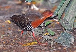 Rail (bird) - Red-legged crake, Rallina fasciata