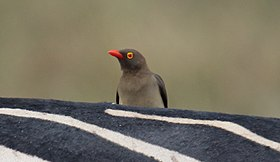 Red-billed Oxpecker (Buphagus erythrorhynchus) (32701220118).jpg